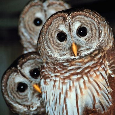 A Parliament (a group of owls): image via orthagroup.org