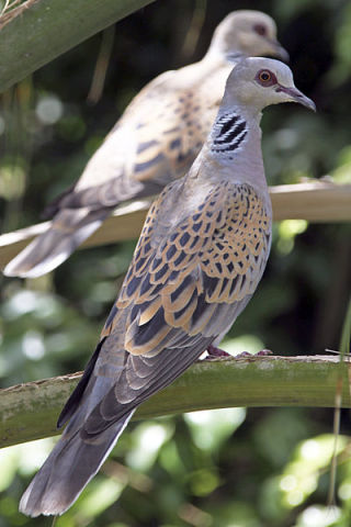 Two Turtle Doves (Photo by Yuvalr/Creative Commons via Wikimedia)