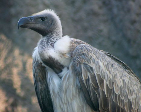 African White-Backed Vulture (Photo by John Haslam/Creative Commons via Wikimedia)