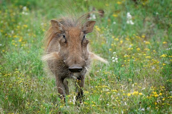 warthog with wildflowers