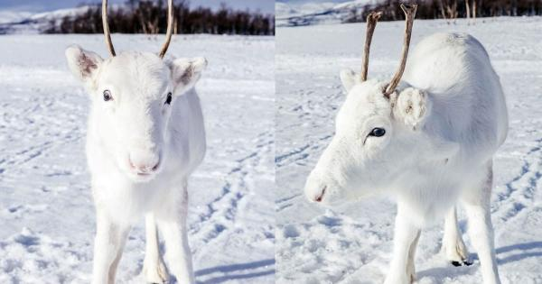 When What To My Wondering Eyes Should Appear . . . White Reindeer?