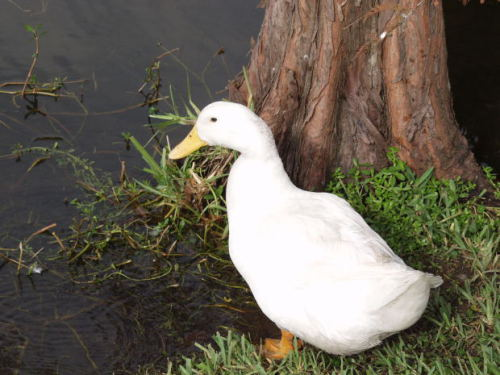"""Being """"struck by a duck"""" is a code W61.62"""