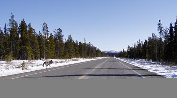 timber wolf on Canadian highway