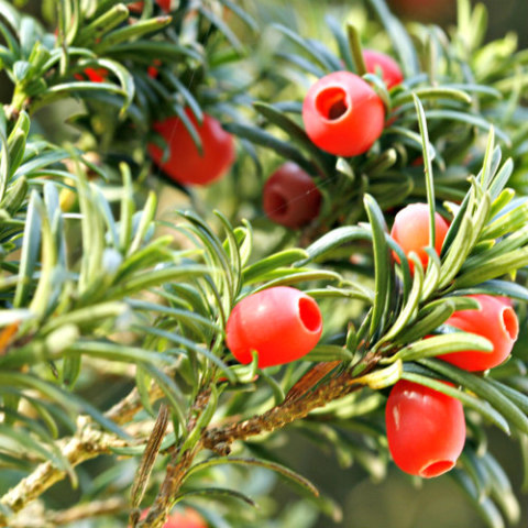 Poisonous Plants: 10 Outdoor Plants Poisonous To Cats: Yews are very poisonous to cats