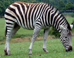 How did the zebra get his stripes?: image via justanimal.org