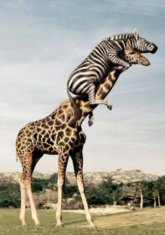 Giraffe and Zebra: Source: Doberdan