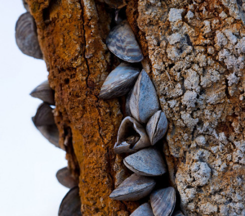 Zebra Mussels: (Photo by Todd Moon /Creative Commons via Flickr)