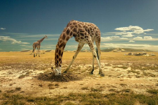 Giraffe Art by Brown: I think this giraffe and those ostriches might have been switched a birth!