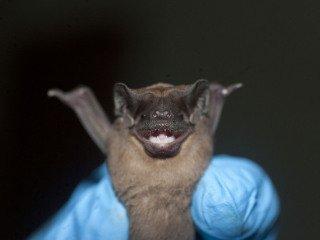 Mastiff bat