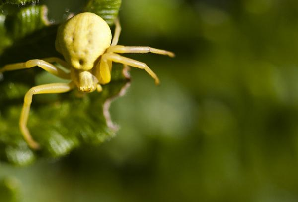 Yellow Goldenrod Crab Spider