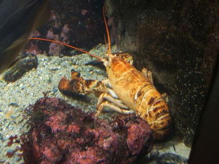 Yellow Lobster (Steven G. Johnson/Creative Commons via Wikimedia)