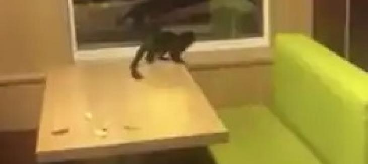 Missing Monkey Turns Up At Swedish McDonald's