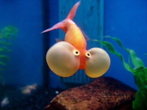 The Solitary Life Of A Bubble Eye Goldfish Petslady Com