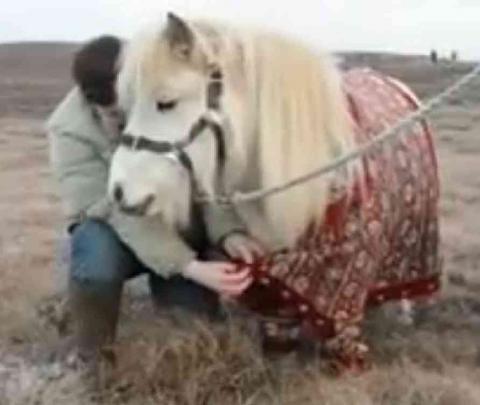 Shetland Ponies Model The Latest In Fair Isle Knits | Petslady.com