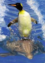 Penguin Riding a Dolphin