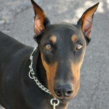 Doberman Pinschers have been part of a narcolepsy study