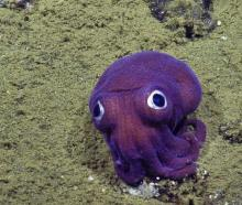 Cute Purple Squid Spied Chilling Out On Ocean Floor