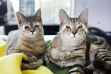 Rescue Cats Born Without Eyelids Receive Sight-Saving Surgery