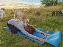 Goat Yoga Could Be The Next Big Wellness Graze