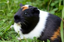 Guinea pigs are actually trainable