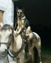German Shepherd Riding a Horse