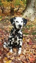 Dalmation in Autumn
