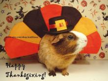 Thanksgiving Guinea Pig