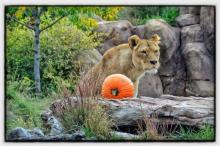 A Lioness At Halloween