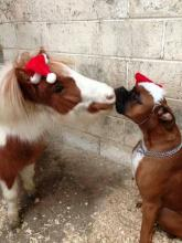 Horse and Dog Christmas Kiss