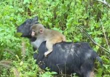Goat and Monkey Inseparable
