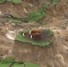 Cows Moo-rooned On Grassy Island After New Zealand Quake