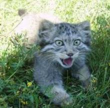 Baby Steppes: Orphaned Pallas's Cats Raised By House Cats Return To The Wild