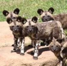 Australian Zoo Welcomes Eleven New Endangered African Wild Dog Pups