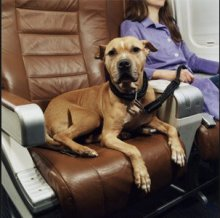 Comfort Animals Take To The Not So Friendly Skies