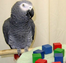 Parrots Have Speech-ready Voice Boxes & Speech-ready Brains