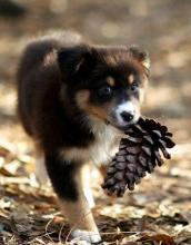Pinecone Puppy