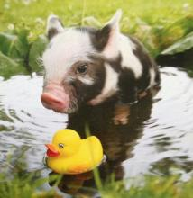 Pig and Rubber Ducky