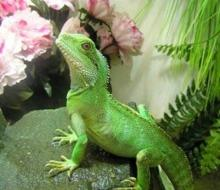 Baby Chinese Water Dragon