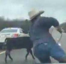 Cowboy Riding On Patrol Car's Hood Lassos Runaway Calf