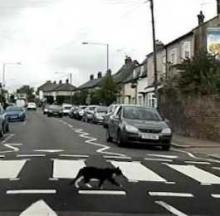 Clever Cat Uses Crosswalk To Cross Busy British Street