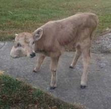 Luck Runs Out For Lucky, A Two-Faced Calf From Kentucky
