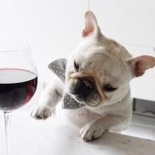 French Bulldog and Wine