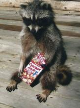 Raccoon Eating Cracker Jack