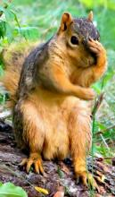 Abset-Minded Squirrel