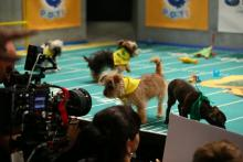 Puppies rehearsing for Puppy Bowl XIII