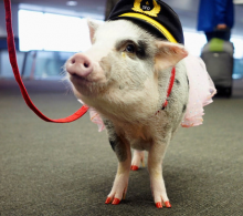 Therapy Pig To The Rescue