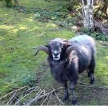 Rambro The Angry Ram Is The Woolly Master Of His Domain
