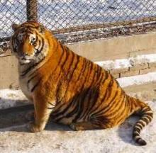 Chinese Zoo's Overfed Tigers Are The Ultimate Fat Cats