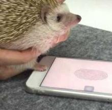 Pet Hedgehog Unlocks Owner's iPhone With Touch ID