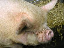 Pigs can benefit from algae materials for enrichment